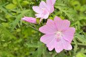 Pink Malva Moschata (Musk-Mallow) Flowers on Flower Bed — Zdjęcie stockowe