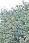 árvores de abeto vermelho azul — Fotografia Stock
