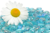 Beautiful Daisy Flower on Blue Glass Stones — Stock Photo