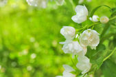 Beautiful Double Flowering Philadelphus (Mock Orange) — Stock Photo