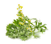 Wormwood with Flowers — Stock Photo