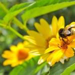Bee Pollinating Jerusalem Artichoke (Earth Apple) Flower — Stock Photo #8638565