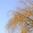 Bare Willow Tree Branches Against Blue Sky - Stock Photo