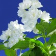 Delicate White Philadelphus (Mock Orange) Flowers — Stock Photo