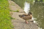 Mallard Duck on the River Bank — Stock Photo
