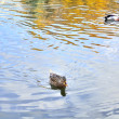 Mallard Duck and Drake Swimming in the Lake — Stock Photo