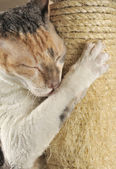 Cute Cat with Closed Eyes Scratching a Scratching Post — Stock Photo