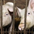 Pigs in Barn — Stock Photo