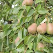 Stock Photo: Pears Growing on Pear Tree