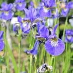 Purple Iris Flowers on Flower Bed — Stock Photo #9043264