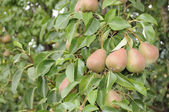 Pere che cresce su un albero di pere — Foto Stock