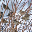 Stock Photo: Flock of Sparrows Sitting on Bush