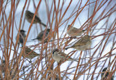 Flock of Sparrows Sitting on Bush — Stock Photo