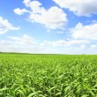 Summer Scenery – Green Field Under Blue Sky — Stock Photo #9198946