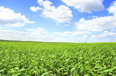 Summer Scenery – Green Field Under Blue Sky — Foto Stock