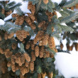 Blue Spruce Tree with Cones and Snow — Stock Photo
