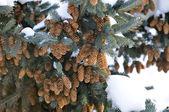 Blauwe spar boom met kegels en sneeuw — Stockfoto