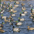 Flock of Mallard Ducks and Drakes Swimming in the Lake - Stock Photo