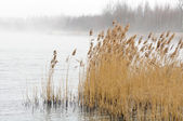 Common Reed (Phragmites) in the River on Foggy Morning — Stock Photo