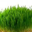 Wheat grass — Stock Photo #9102279