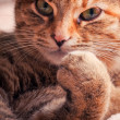 Stock Photo: Tabby cat portrait