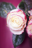 White and pink rose — Stock Photo