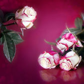 White and red roses arrangement — Stock Photo
