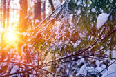 Spruce branch with falling snow — Stock fotografie