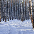 Winter birch grove - Stock Photo