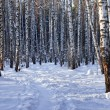 Stock Photo: Winter birch grove