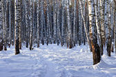 Winter birch grove — Stock Photo