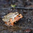 Two frogs — Stock Photo #10057800