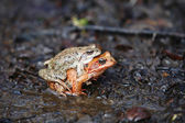 Two frogs — Stock Photo