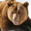 Bear  (Ursus arctos) - Stock Photo