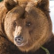 Stock Photo: Bear (Ursus arctos)