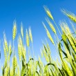 Wheat — Stock Photo #8881243