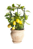 Decorative lemon tree — Stock Photo