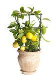 Dekoratif limon ağacı — Stok fotoğraf