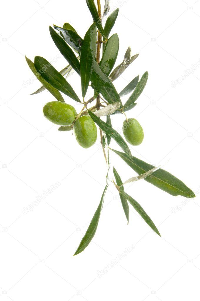 Olive branch � Stock Photo � nanka-photo #8880266
