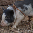 Little pig - Stockfoto