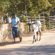Cow and cowherd walking along the road - Stok fotoğraf