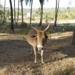 Indian cow -  