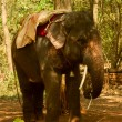 The indian elephant in jungle — Stock Photo #9548317