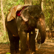 The indian elephant in jungle — Stock Photo