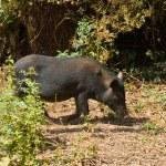 Wild pig — Stock Photo #9548374