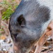Indian pig - Stock Photo
