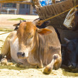 Cows on the beach in Arambol - Photo