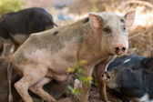 Little pigs — Stockfoto
