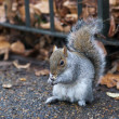 Squirrel in the hyde  Park - Stock Photo