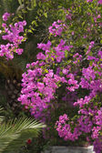 Bright pink bougainvillea flowers — Stockfoto